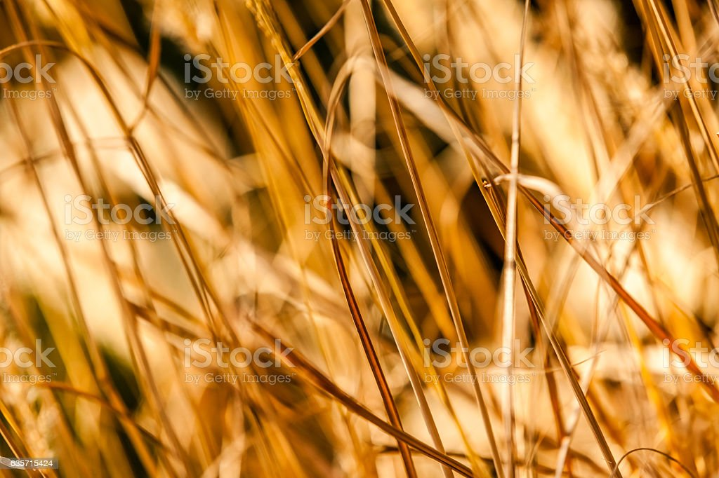 Golden grass close up royalty-free stock photo