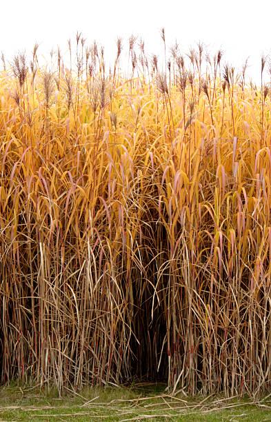 golden gras - chinaschilf stock-fotos und bilder