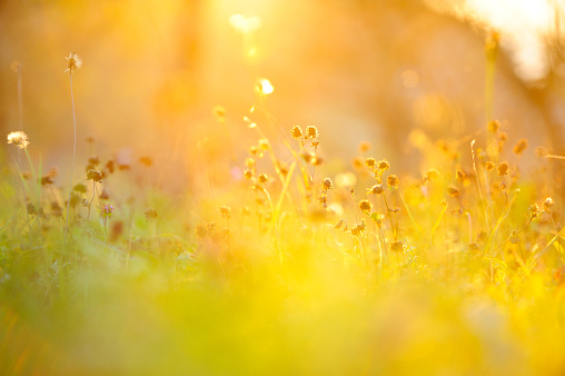 Sunset over wavy grass, a nice nature abstract background with rich golden-orange hue. Photo taken against the sun so sun flare can be visable