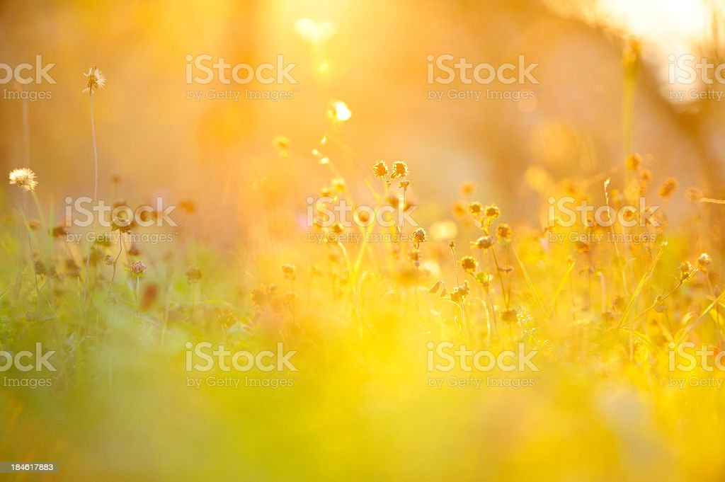 Golden grass stock photo