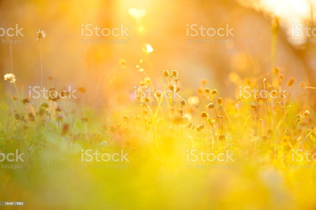 Golden Gras – Foto
