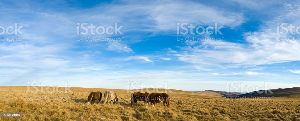 Golden grassland and wild horses stock photo