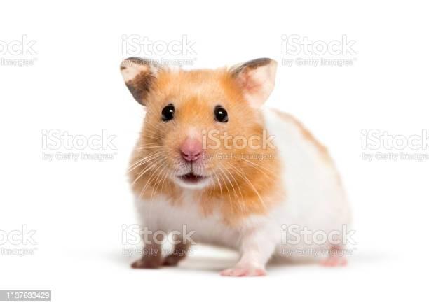 Golden hamster in front of white background picture id1137633429?b=1&k=6&m=1137633429&s=612x612&h=n crro3mbipua z1gvj4u vfwnjxqyvwacsiokuyr6e=