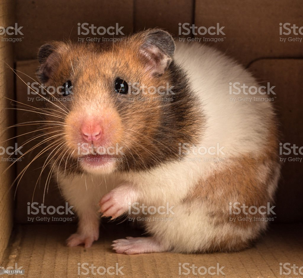 Golden hamster looking out a box - what is? stock photo