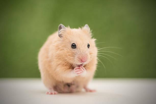 Hamster Bilder