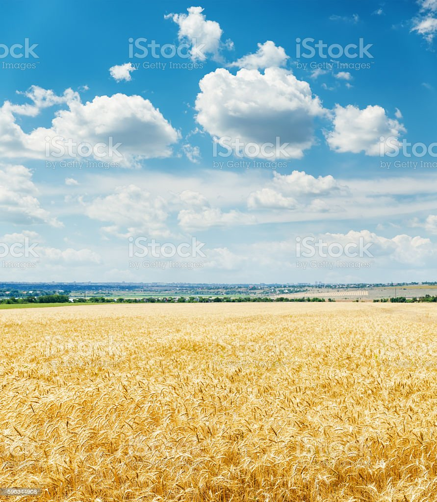 golden harvest field and clouds in blue sky over it royalty-free stock photo