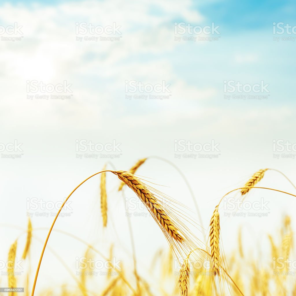 golden harvest in field on sunset royalty-free stock photo