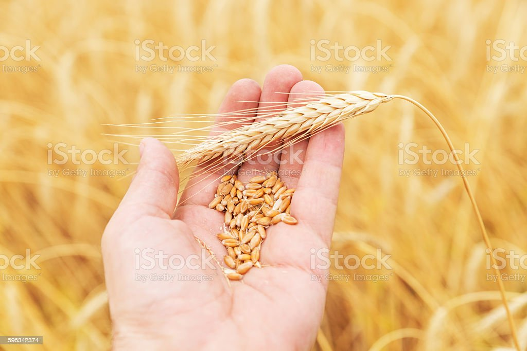 golden harvest in hand over field royalty-free stock photo
