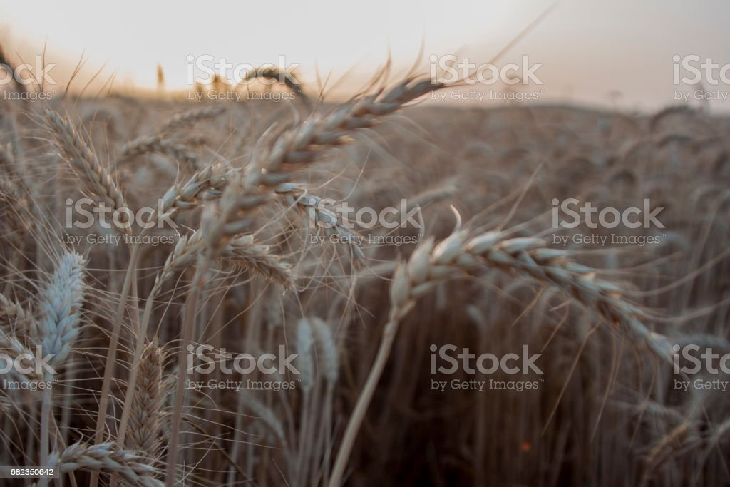 Golden harvest in sunset royaltyfri bildbanksbilder