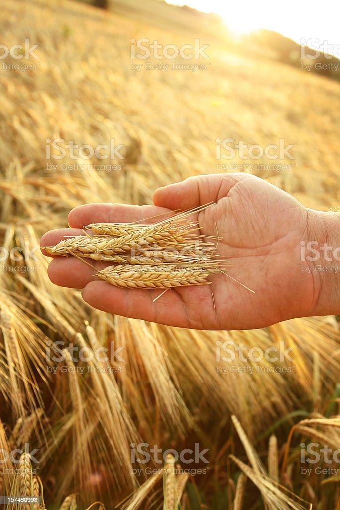 golden harvest royalty-free stock photo