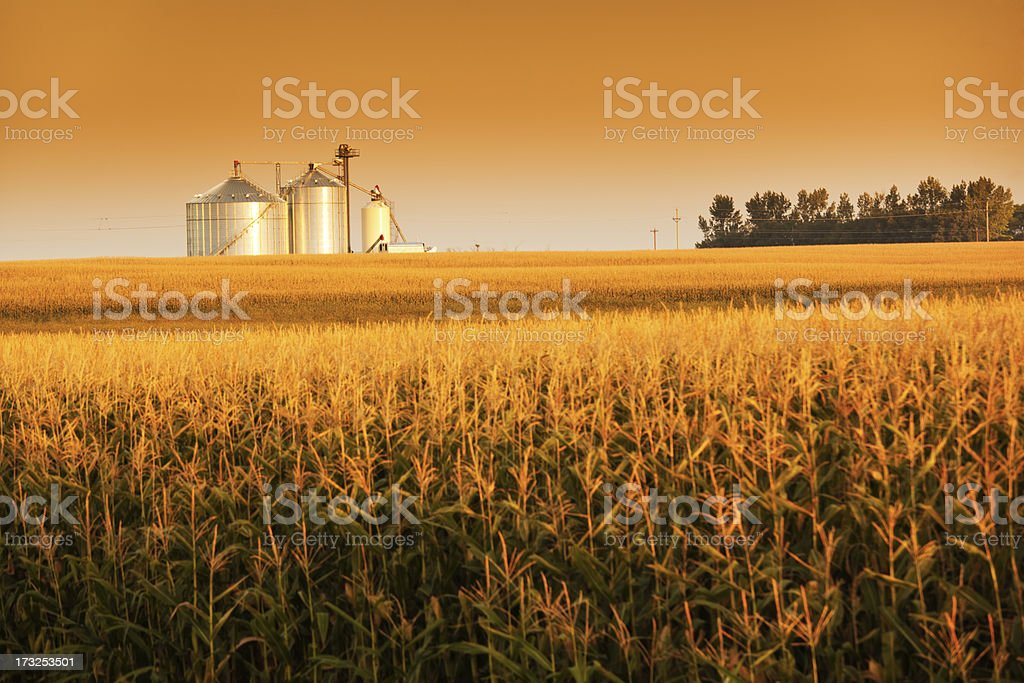 Golden Harvest Sunrise with Corn Field and Grain Bin Silo stock photo