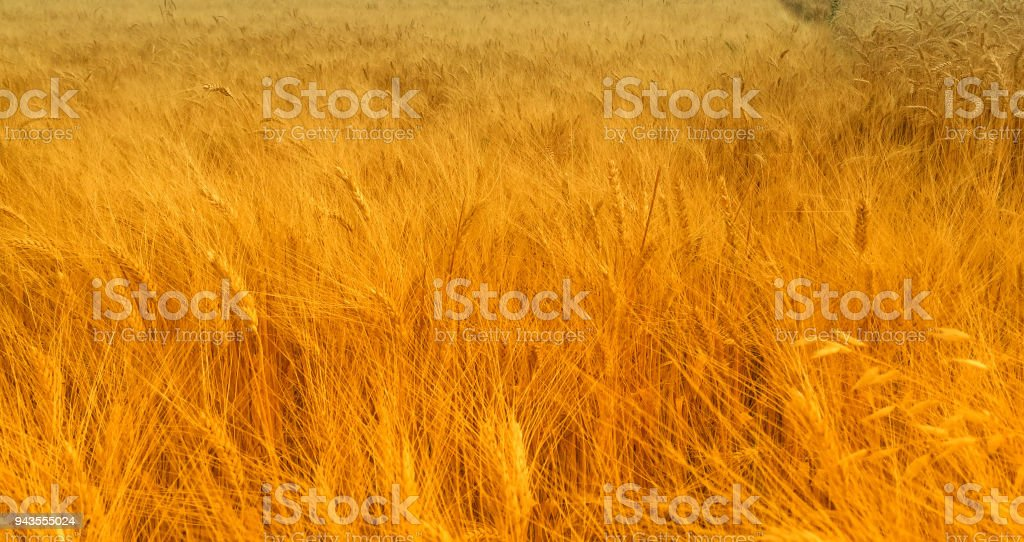 Golden Hayfield stock photo