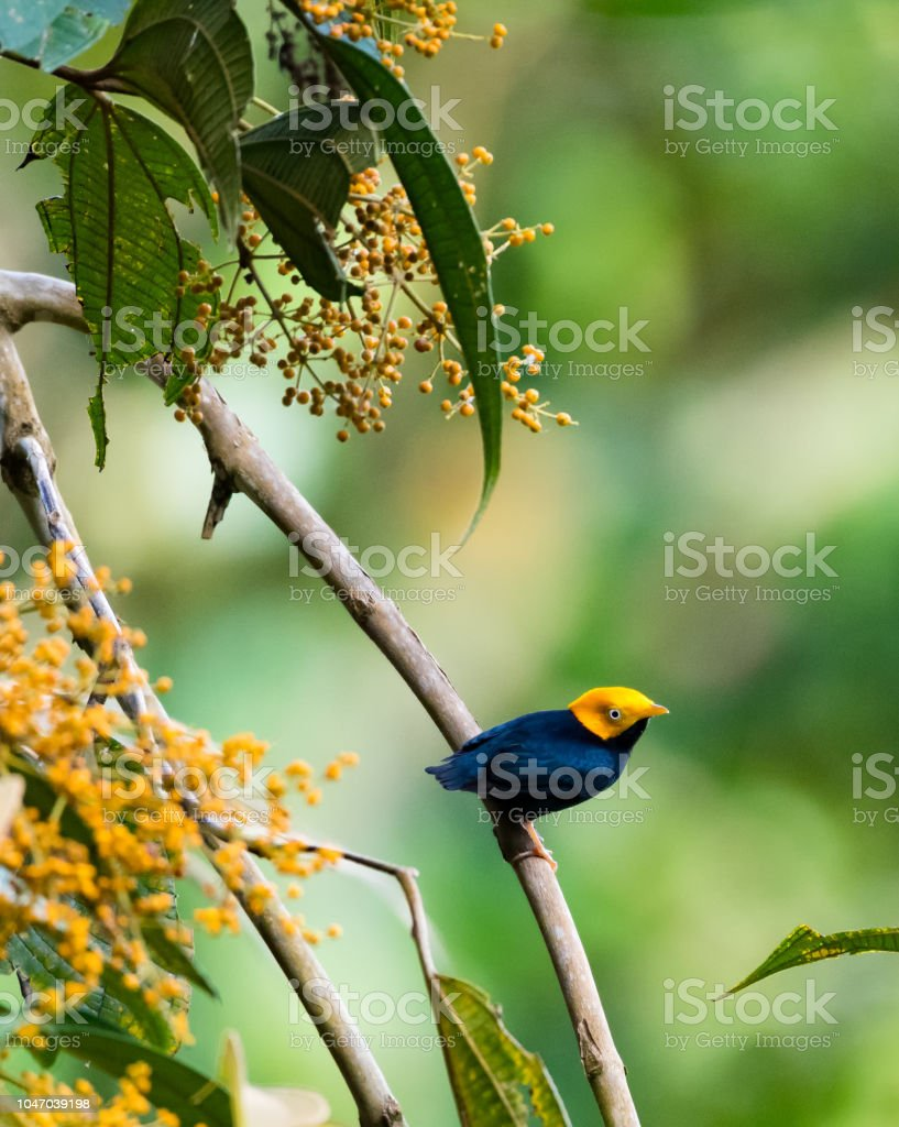 A Golden Headed Manakin perching in a Miconia Tree in Trinidad and...