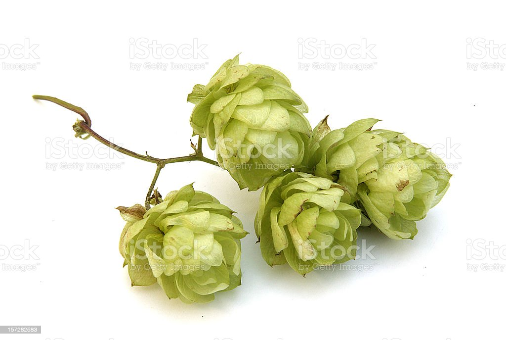Golden hops stock photo