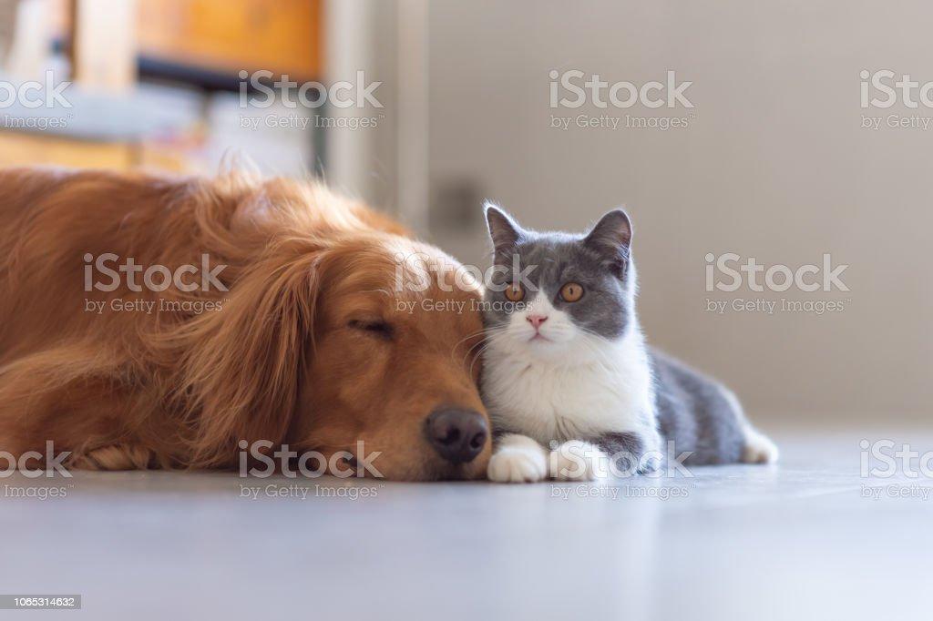 Golden Hound and British short-haired cat stock photo