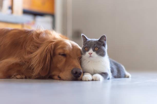 Golden Hound and British short-haired cat – zdjęcie