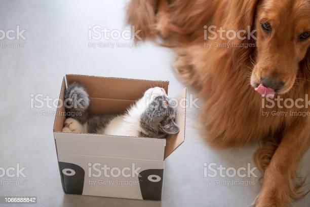 Golden hound and british shorthaired cat picture id1066888842?b=1&k=6&m=1066888842&s=612x612&h=l3rqqwm4emb3hvfgje9plxnvl2hgrcnn ofzhrxxs1m=
