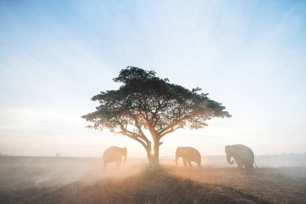 Golden hour amazing safari Thailand the mahouts and elephants meeting under tree morning time on the field of Chang Village Thailand. stock photo
