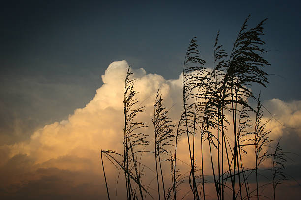 Golden Hour clouds with wheat grass stock photo