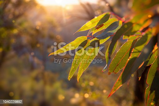 afternoon in the Australian Bush.  Sunlight glowing golden on a eucalyptus sapling.