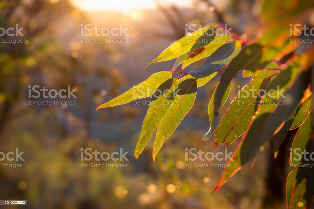 Golden hour in the bush. stock photo