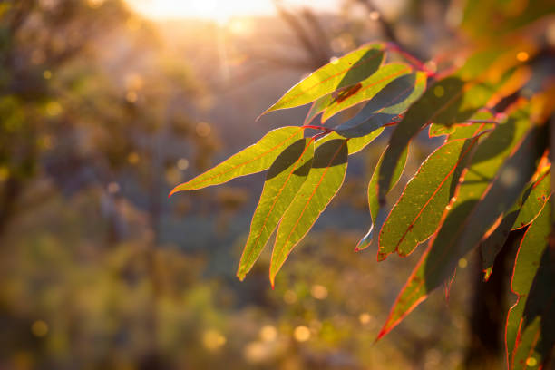Golden hour in the bush. afternoon in the Australian Bush.  Sunlight glowing golden on a eucalyptus sapling. australia stock pictures, royalty-free photos & images