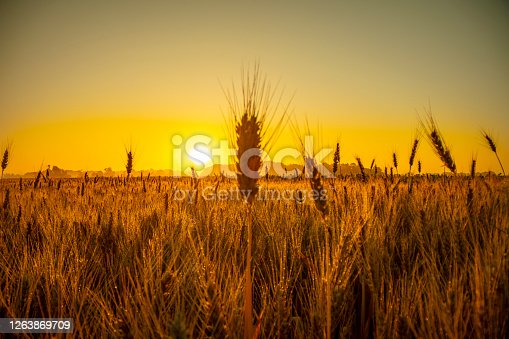 Golden hour sunrise mist over wheat agricultural field