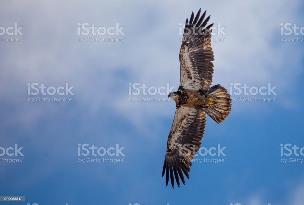 golden immature eagle - foto stock