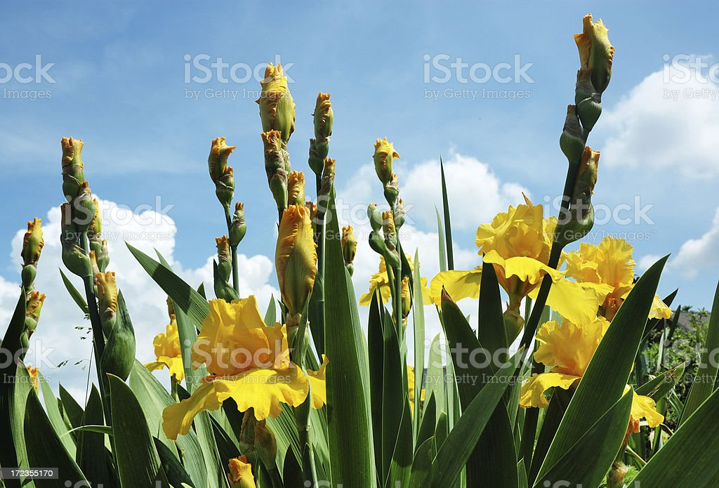 Golden Iris Flowers in Bloom royalty-free stock photo