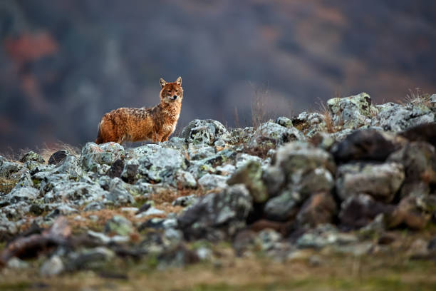 Golden jackal, Canis aureus, in mountains. Wildlife scene from Bulgaria. Wild animal. stock photo
