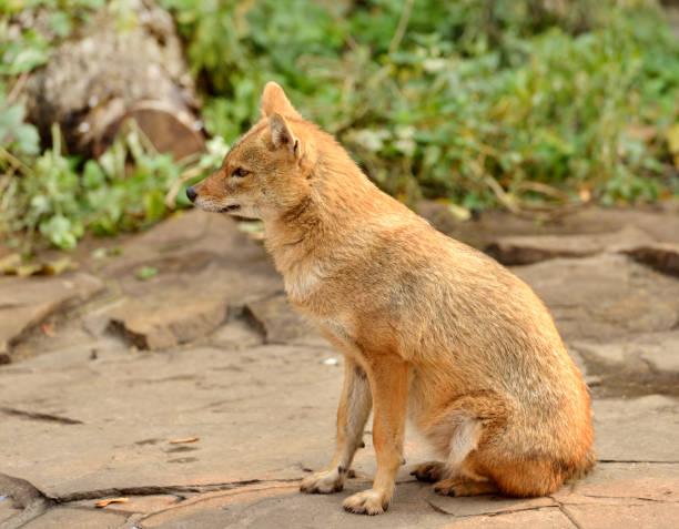 goldschakal (canis aureus) - goldschakal stock-fotos und bilder