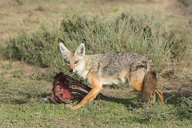 goldschakal (canis aureus), tansania füttern - goldschakal stock-fotos und bilder