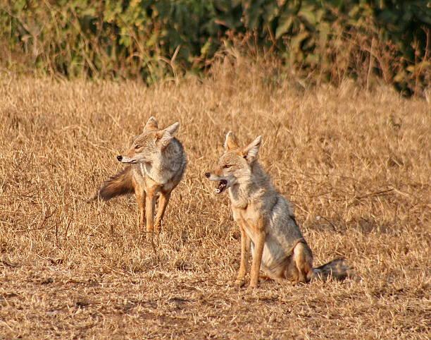 golden jackals in ngorogoro-krater - goldschakal stock-fotos und bilder