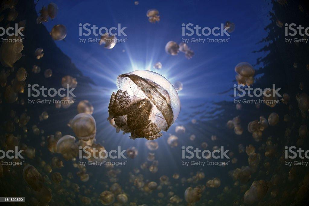 Golden Jellyfish stock photo