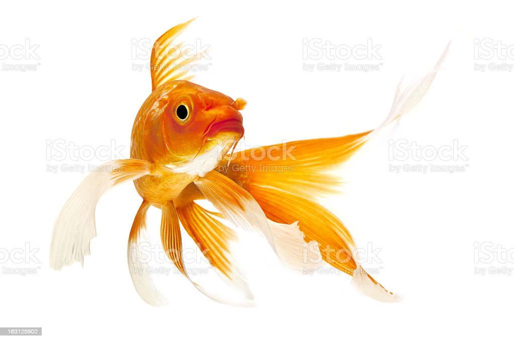 Golden Koi Fish stock photo