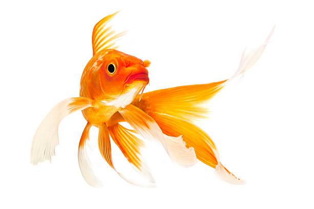 Golden Koi Fish stock photo