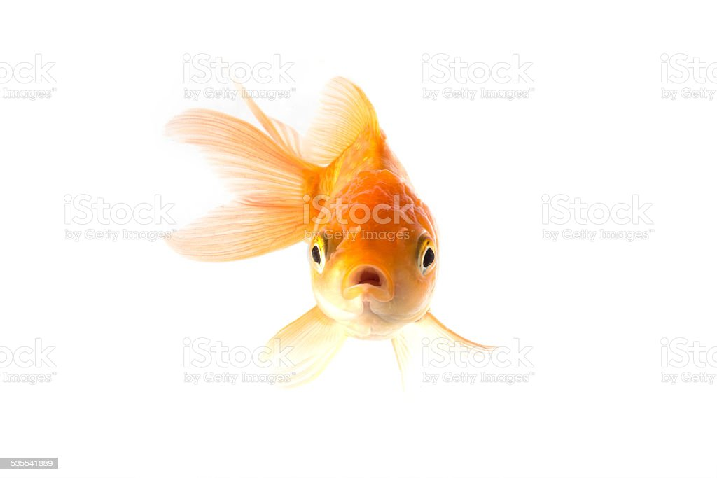 Golden koi fish scared isolated on white background. stock photo