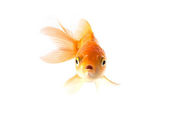 Golden koi fish scared isolated on white background. stock photo