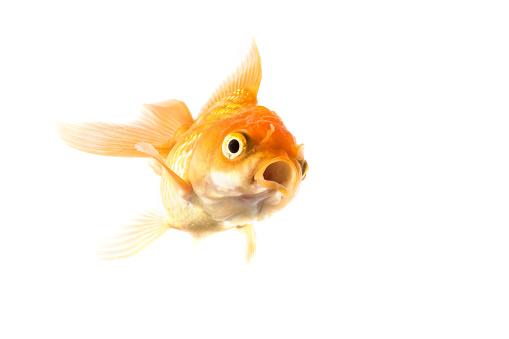 Studio Shot of Golden koi fish scared isolated on white background.