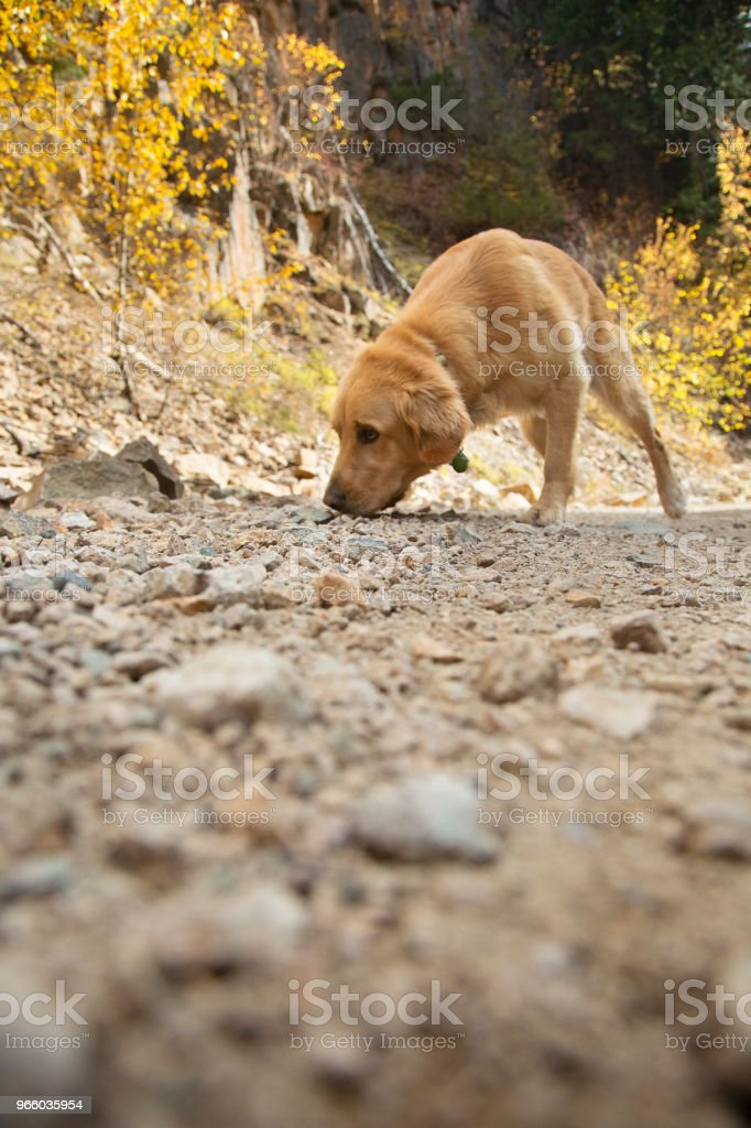 Gouden Lab hond pikt geur - Royalty-free Blonde labrador retriever Stockfoto