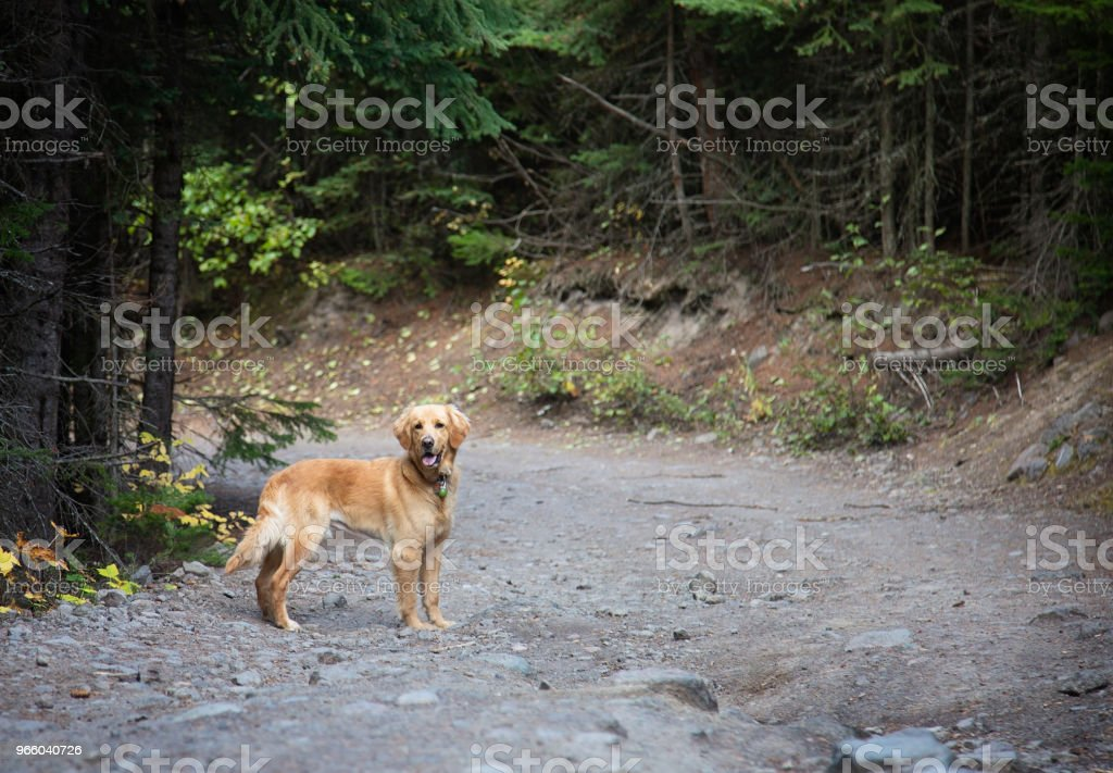 Gyllene Lab hund står i givakt i skogen - Royaltyfri Djur Bildbanksbilder