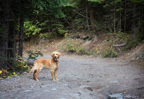 Gyllene Lab Hund Står I Givakt I Skogen-foton och fler bilder på Djur