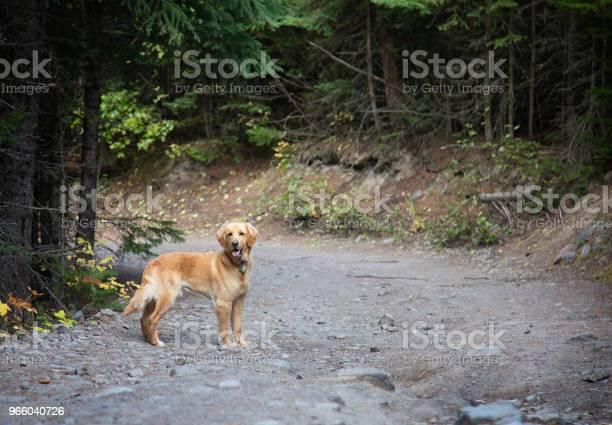 Золотая Лабораторная Собака Стоит На Внимание В Лесу — стоковые фотографии и другие картинки Вид спереди