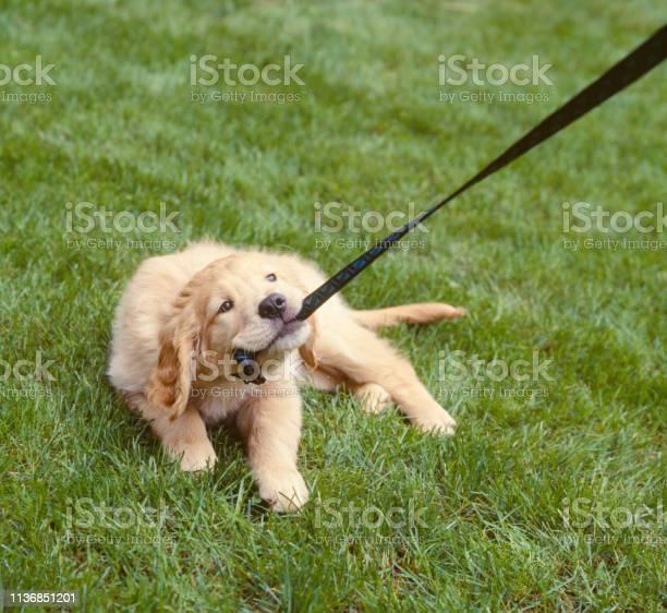 Golden lab labrador retriever dog chewing pulling on leash cute picture id1136851201?b=1&k=6&m=1136851201&s=612x612&h=mgypwty0u4w7grrr3xwhxdbmzjhmmv0xynz  i3ovzu=