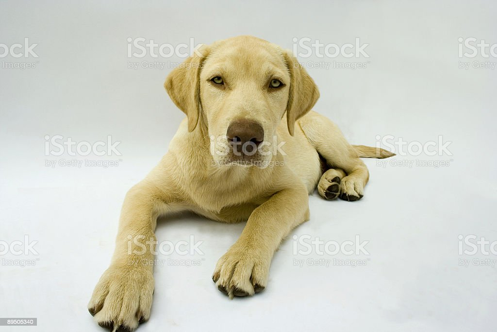 Golden lab puppy royalty-free stock photo