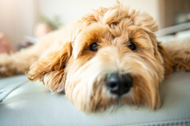 golden labradoodle hund hemma på soffan - animal doodle bildbanksfoton och bilder