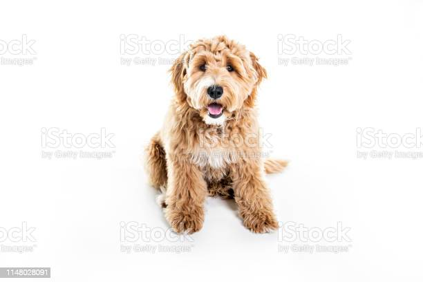 Golden labradoodle dog isolated on white background picture id1148028091?b=1&k=6&m=1148028091&s=612x612&h=bxcbojnzhhgdcs1svmvsxtr79buuaeampw 9eptslp8=
