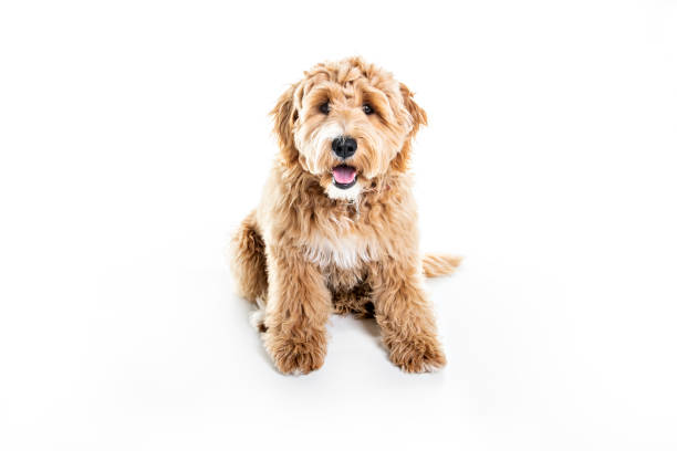 golden labradoodle hund isolerad på vit bakgrund - animal doodle bildbanksfoton och bilder