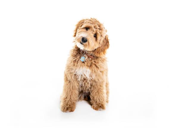Golden Labradoodle dog isolated on white background stock photo