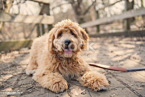 A Golden Labradoodle dog outside in fall season